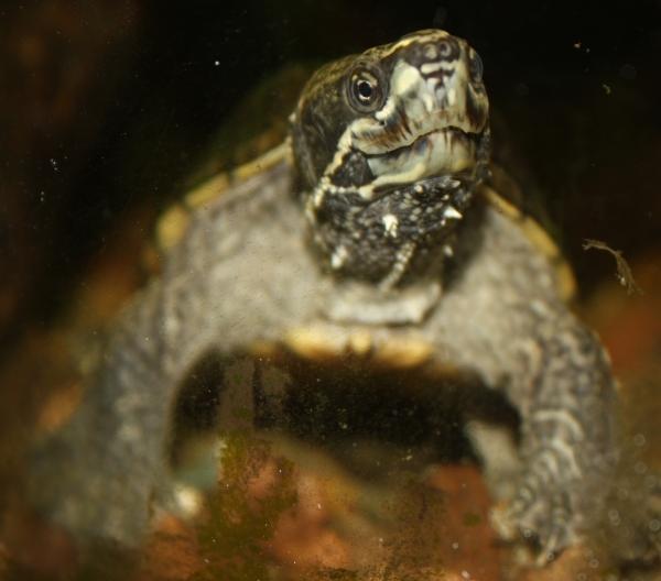 halten wasserschildkröten winterschlaf
